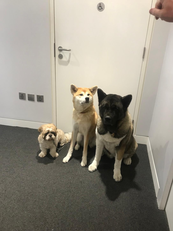 Dogs Akita shih tzu