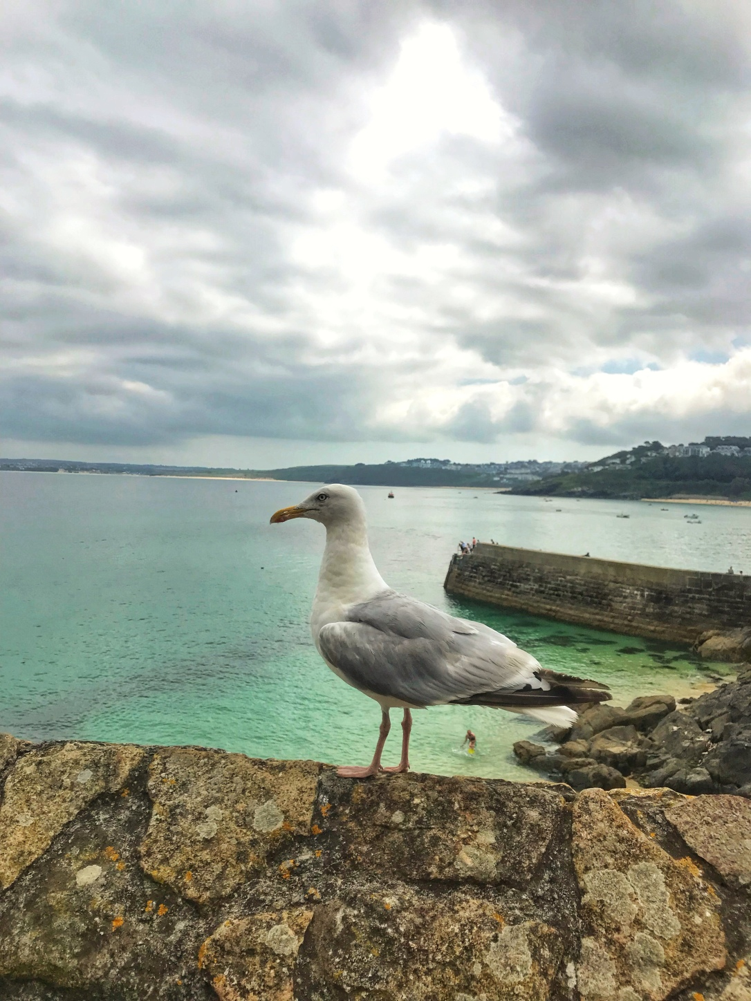 St ives seagull Cornwall