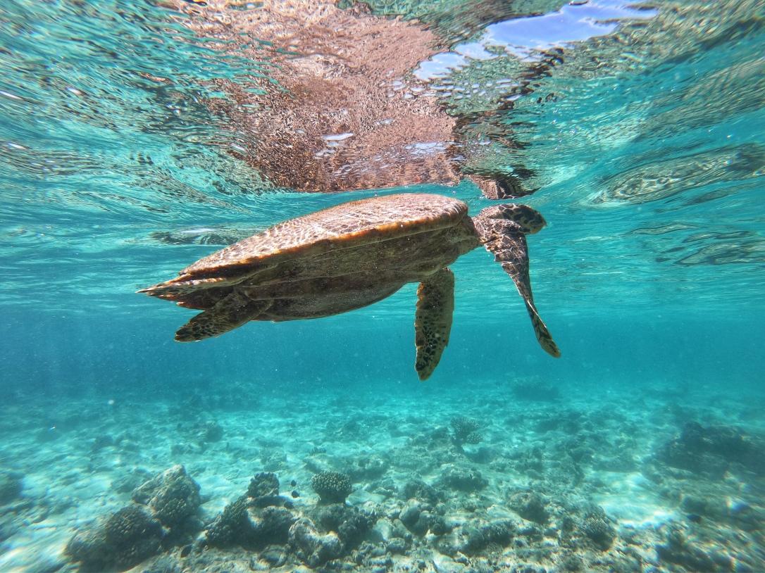 Ellaidhoo turtle Maldives